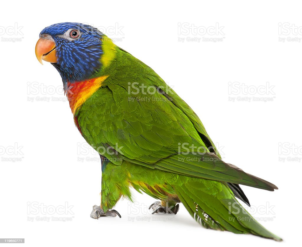 Close-up of beautiful Rainbow Lorikeets in white background stock photo