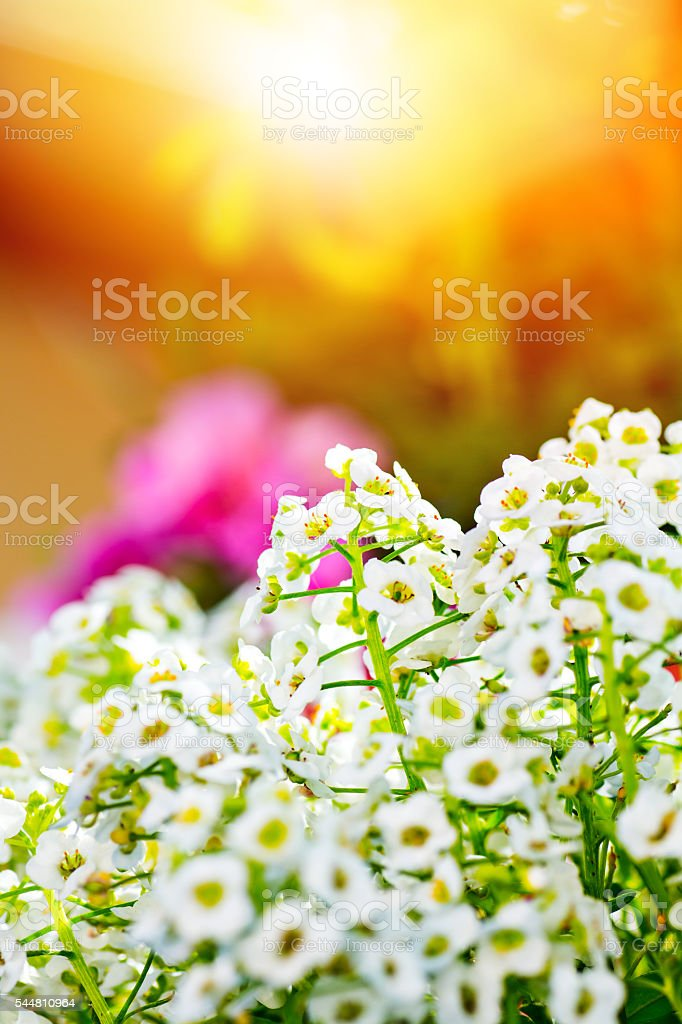 Close-up of beautiful Sweet Alyssum flowers blossoming in spring season stock photo