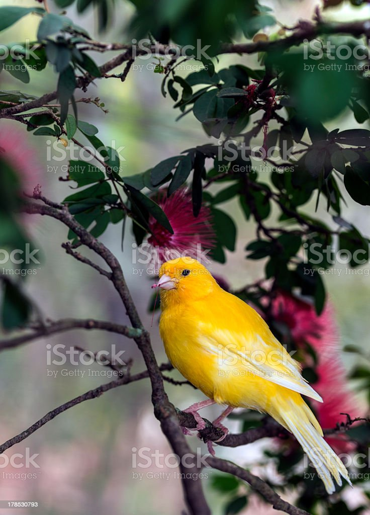 Close-up of beautiful yellow canary in green branches stock photo