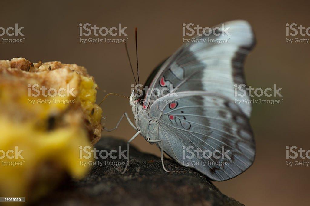 close-up of Beauty butterfly resting on ground stock photo