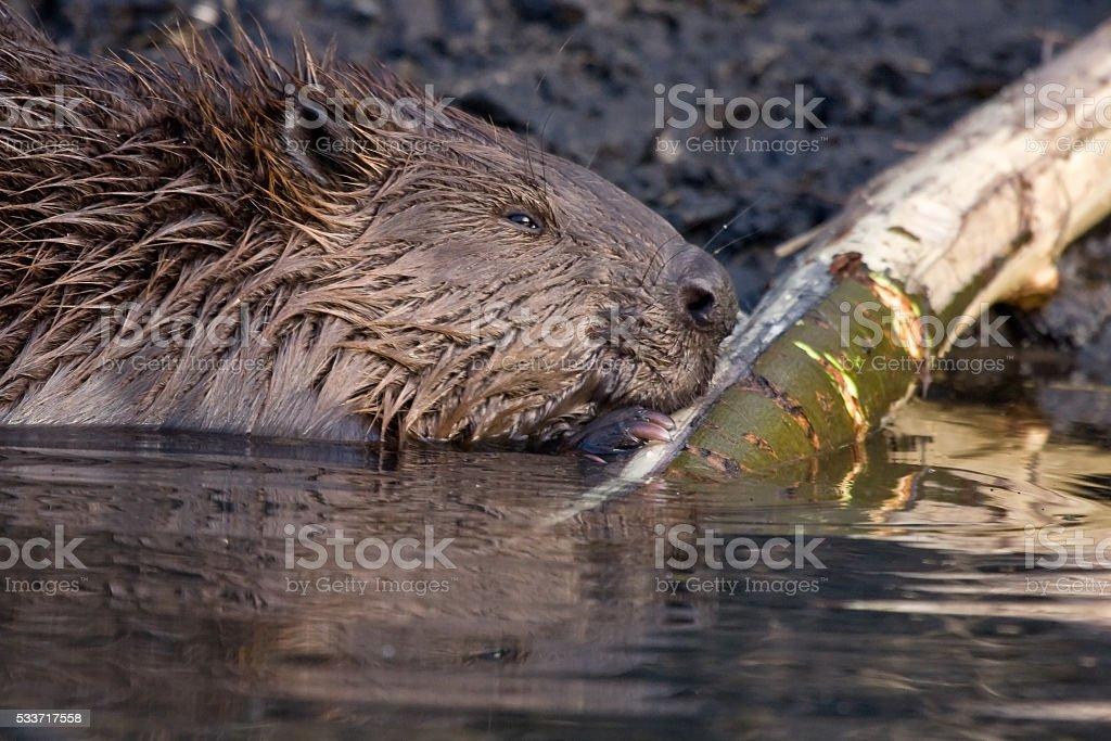 Close-up of beaver stock photo