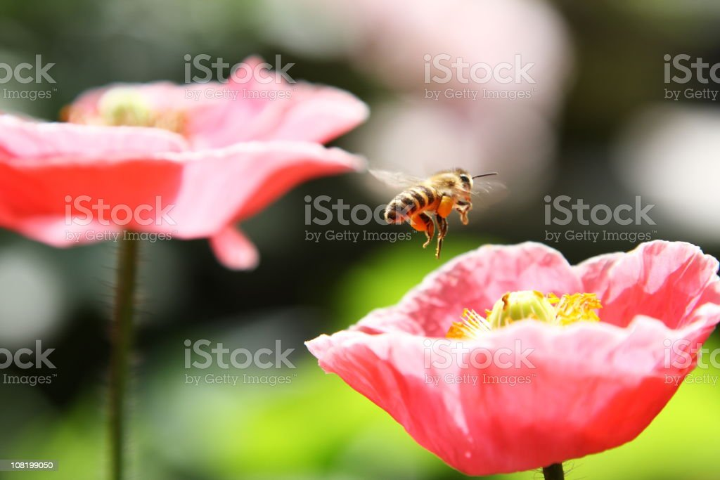 Close-up of Bee About to Land on Pink Flower royalty-free stock photo