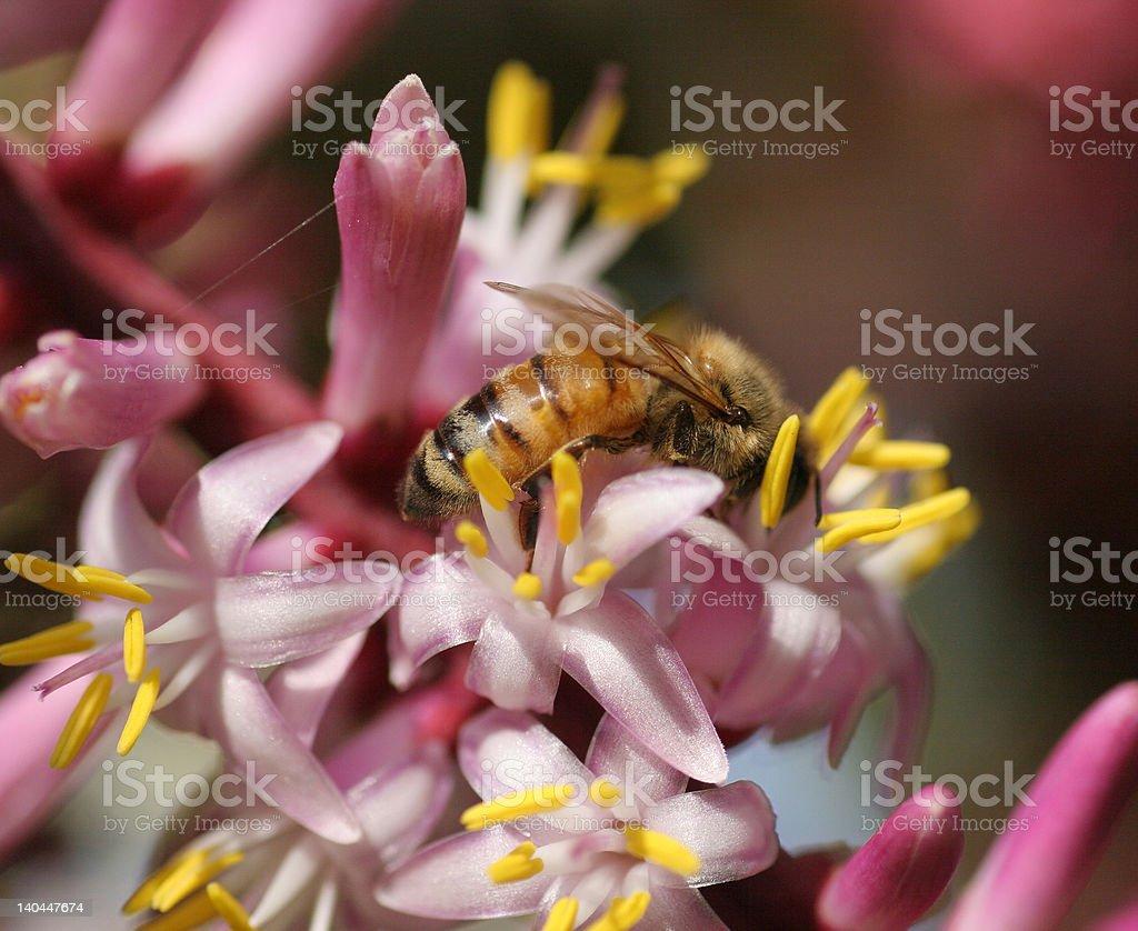 Primer plano de una abeja en flor foto de stock libre de derechos
