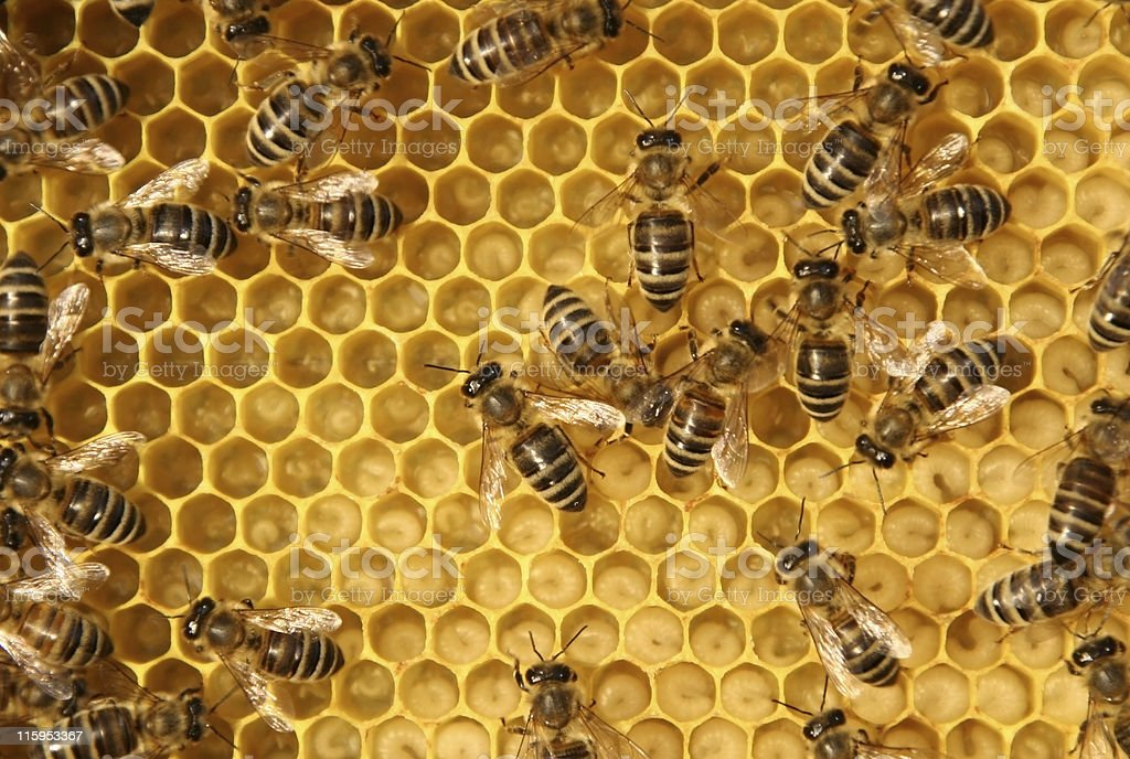 Close-up of bees working in a beehive stock photo