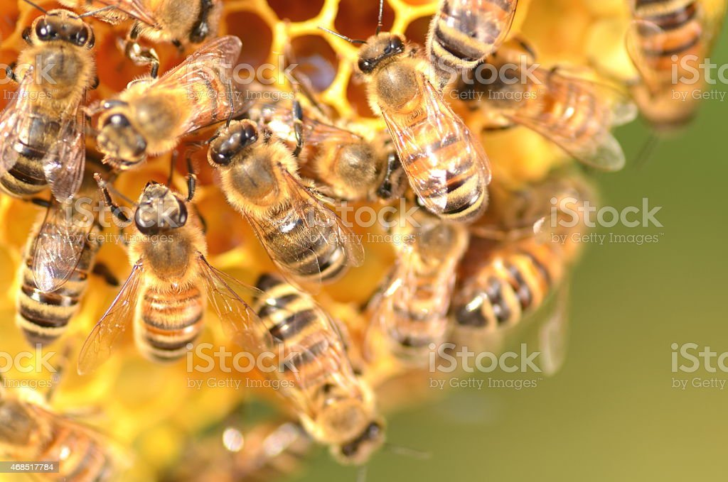 Closeup of bees working on honey comb in apiary stock photo