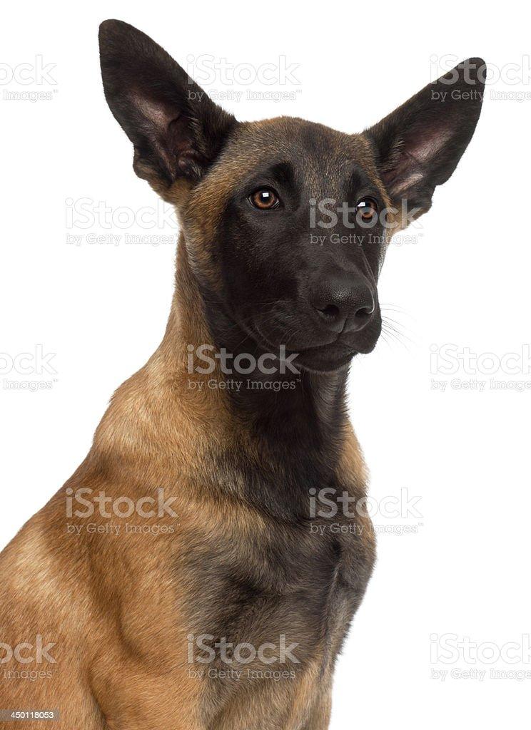 Close-up of Belgian Shepherd Dog, 4 months old stock photo
