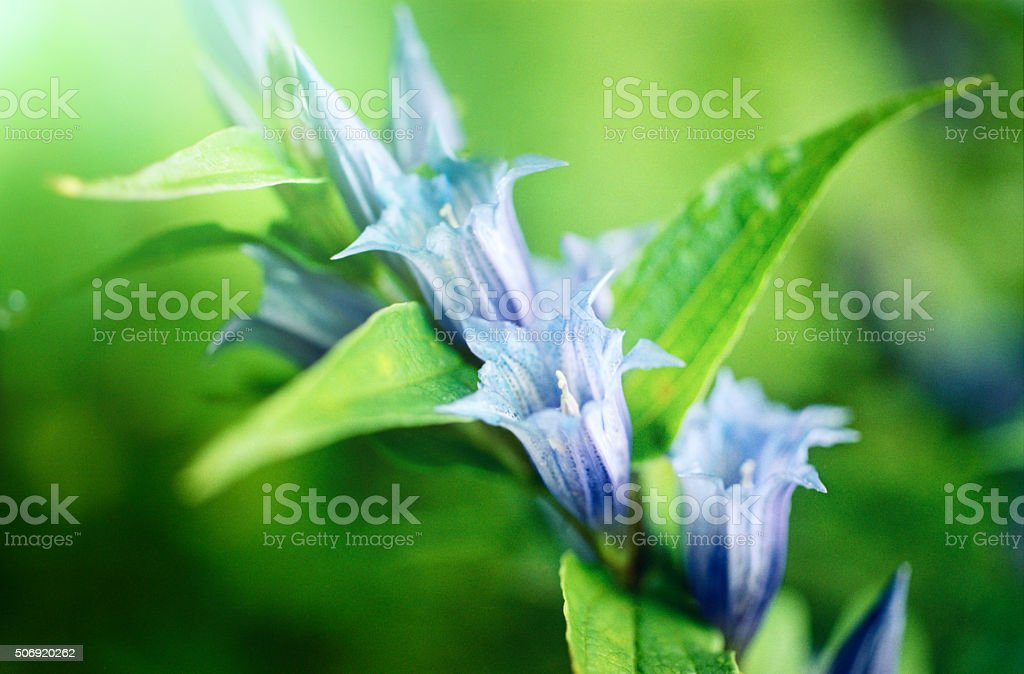 Close-up of bellflower stock photo
