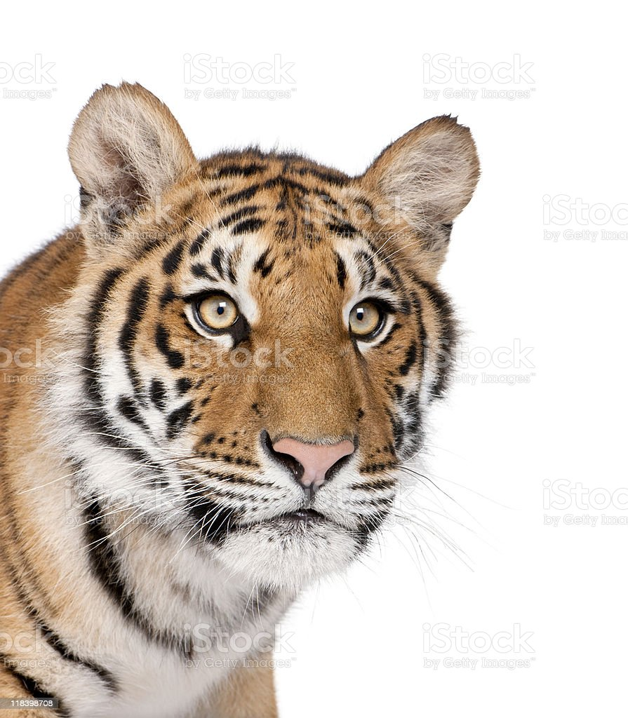 Close-up of Bengal Tiger looking away royalty-free stock photo