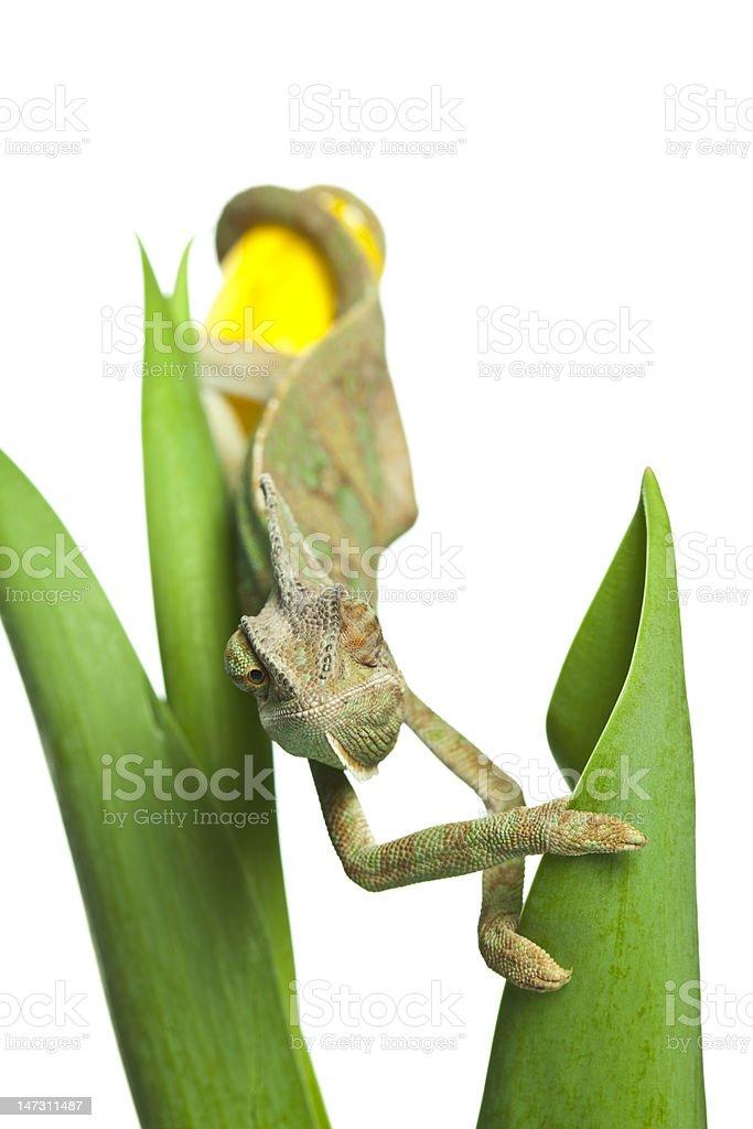 Close-up of big chameleon royalty-free stock photo