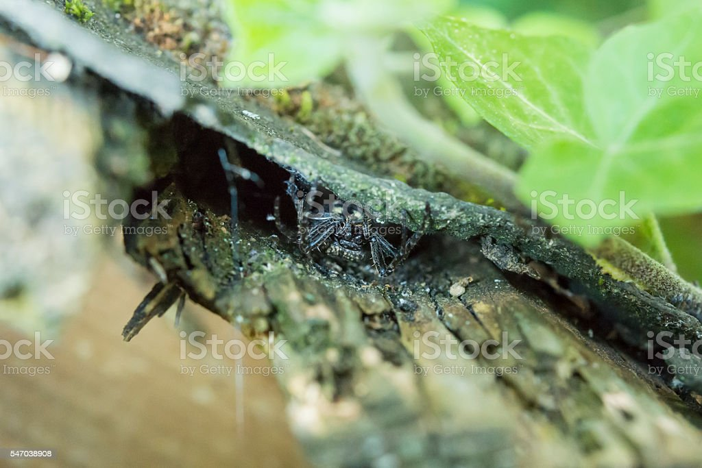 Closeup of big fat black spider couching on a prey stock photo