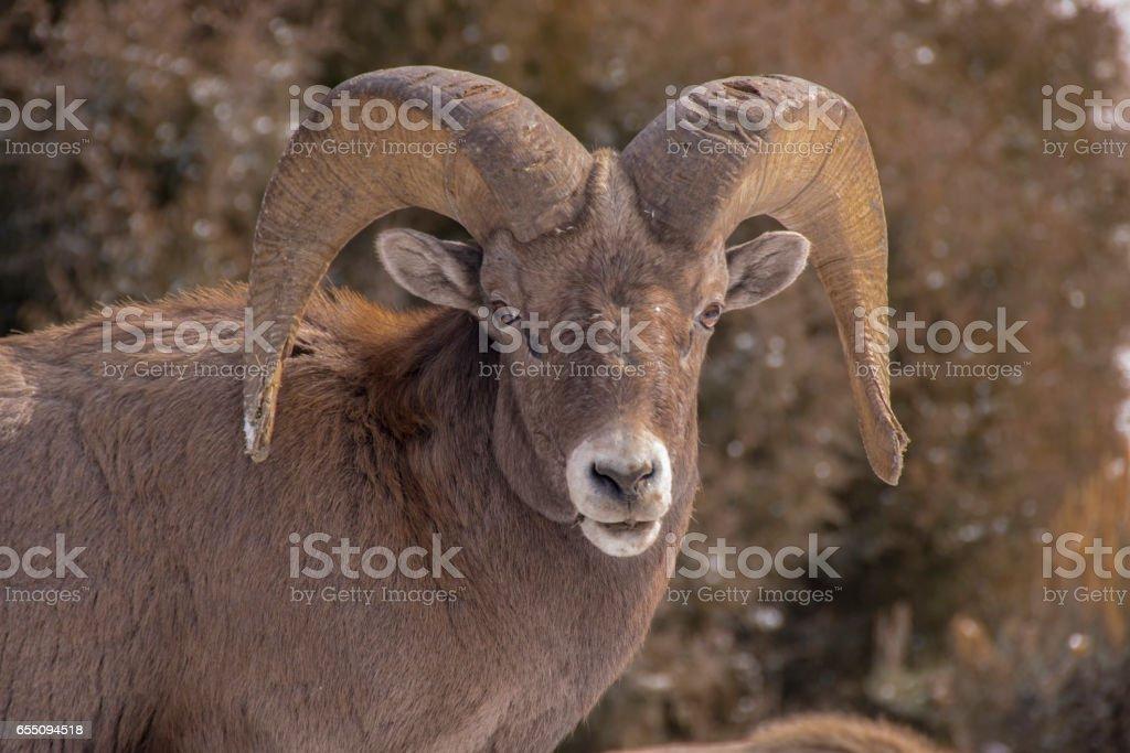Closeup of Big Horn Sheep in Colorado stock photo