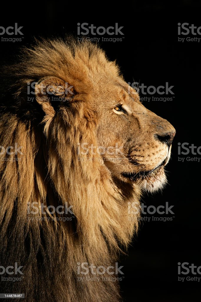 Close-up of big male African lion on black background stock photo