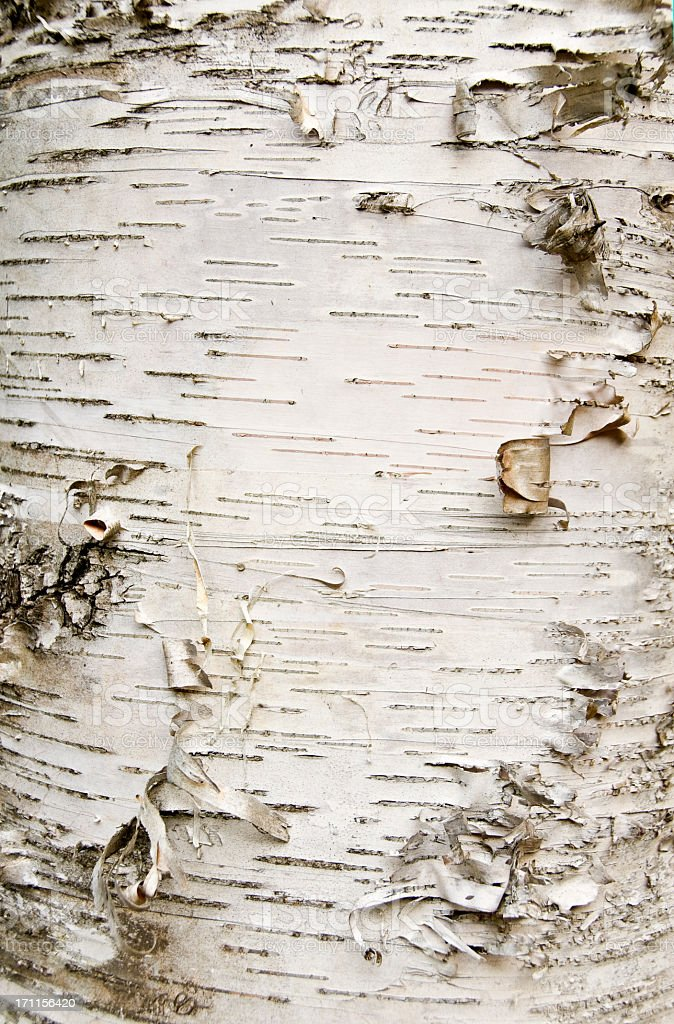 Close-up of birch bark peeling off the trunk stock photo