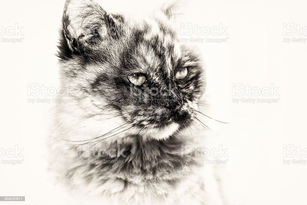 Closeup of Birman cat staring copy space right side. stock photo