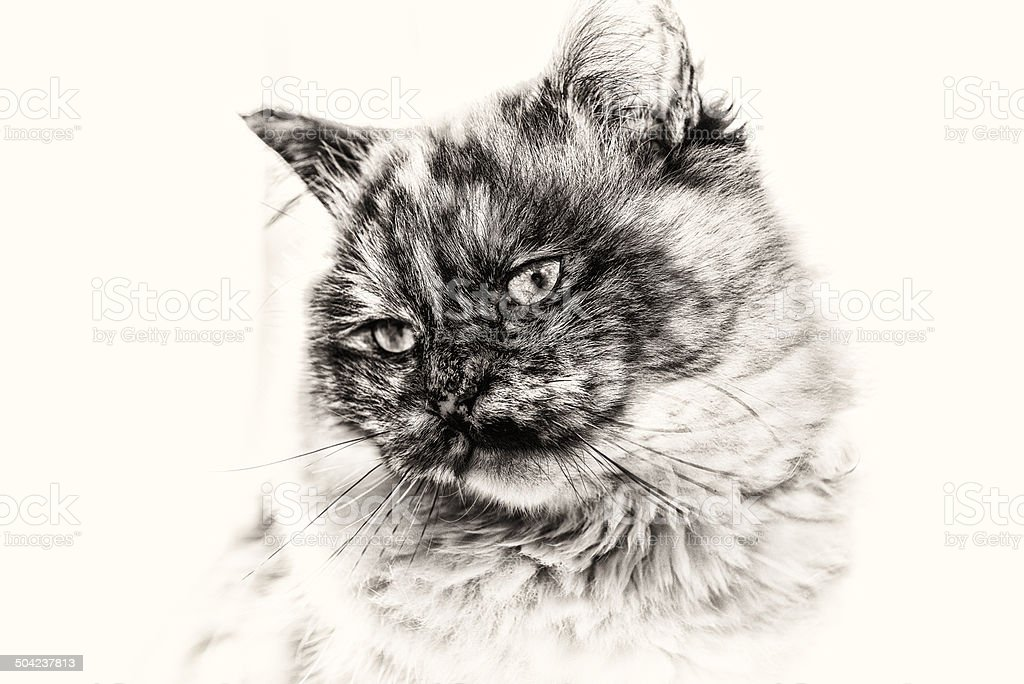 Closeup of Birman cat staring white copy space left side. stock photo
