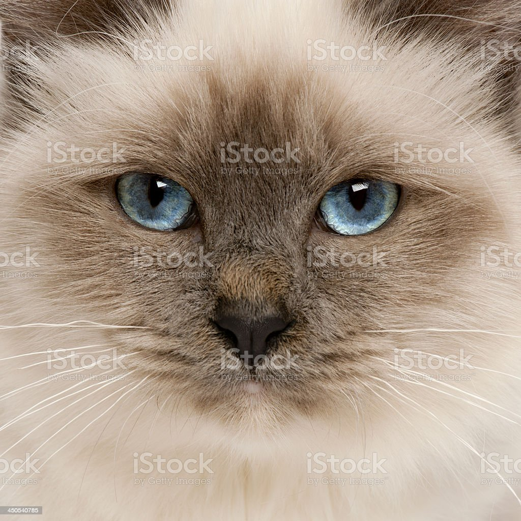 Close-up of Birman cat's face, 5 months old stock photo