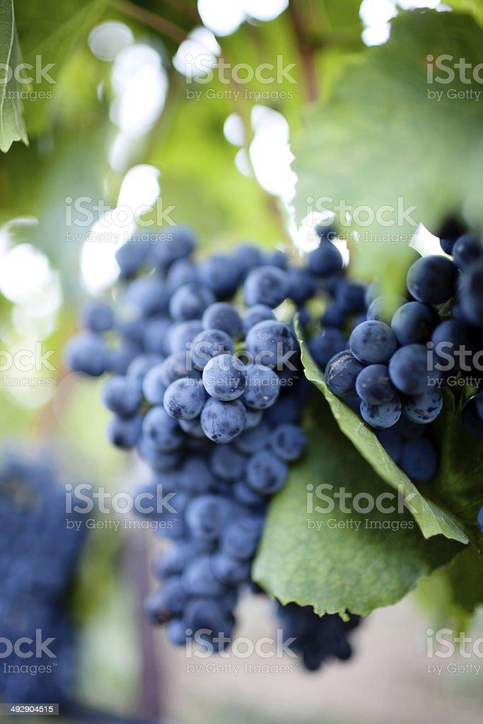 Close-up of black blue purple grapes stock photo