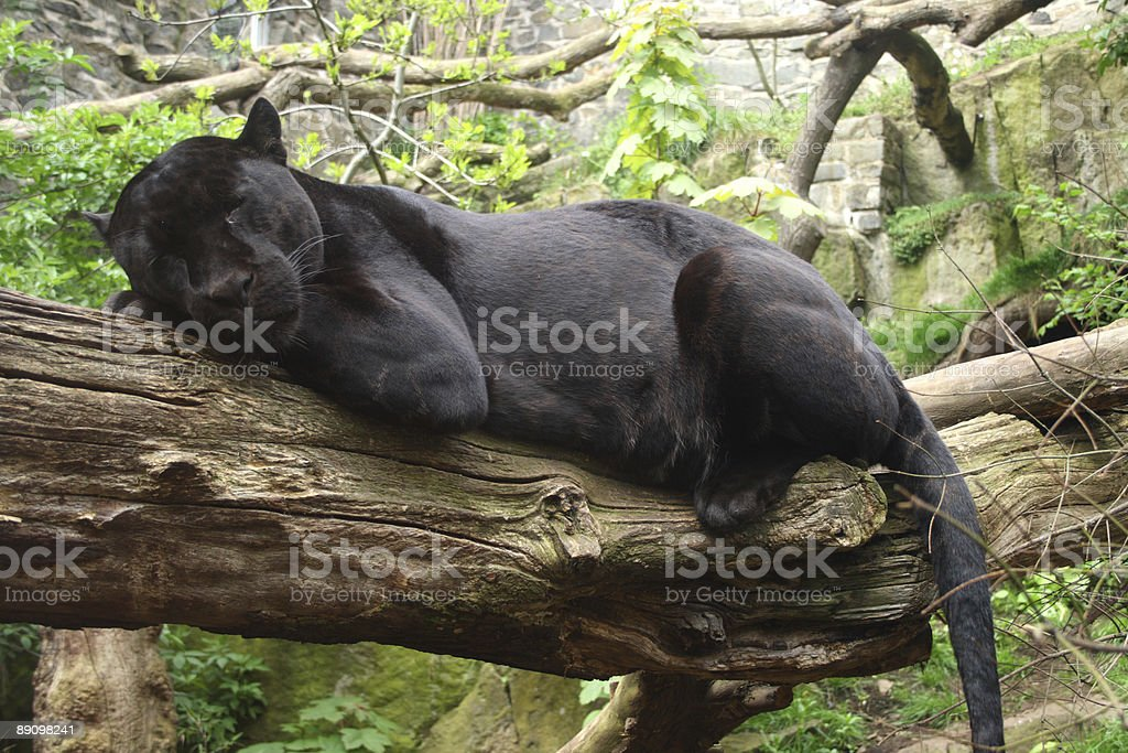 Close-up of black jaguar resting on a tree branch stock photo
