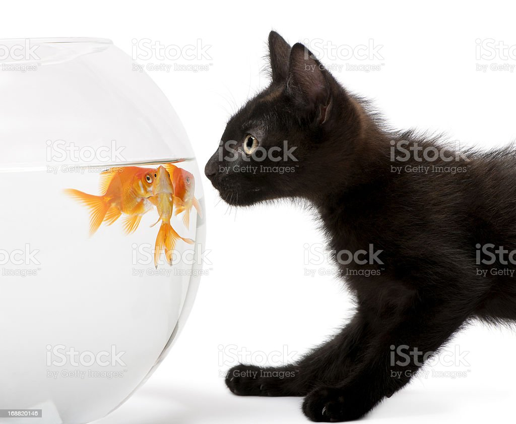 Close-up of Black kitten looking at Goldfish, Carassius Auratus, stock photo