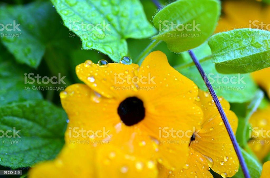 closeup of Black-eyed Susan vine with raindrops stock photo