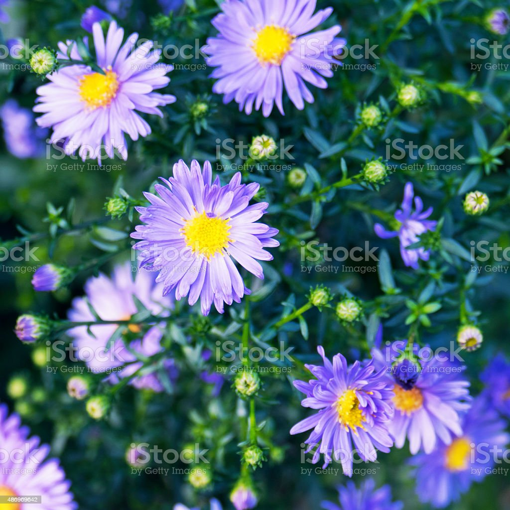 Close-up of blooming purple aster flowers with buds stock photo