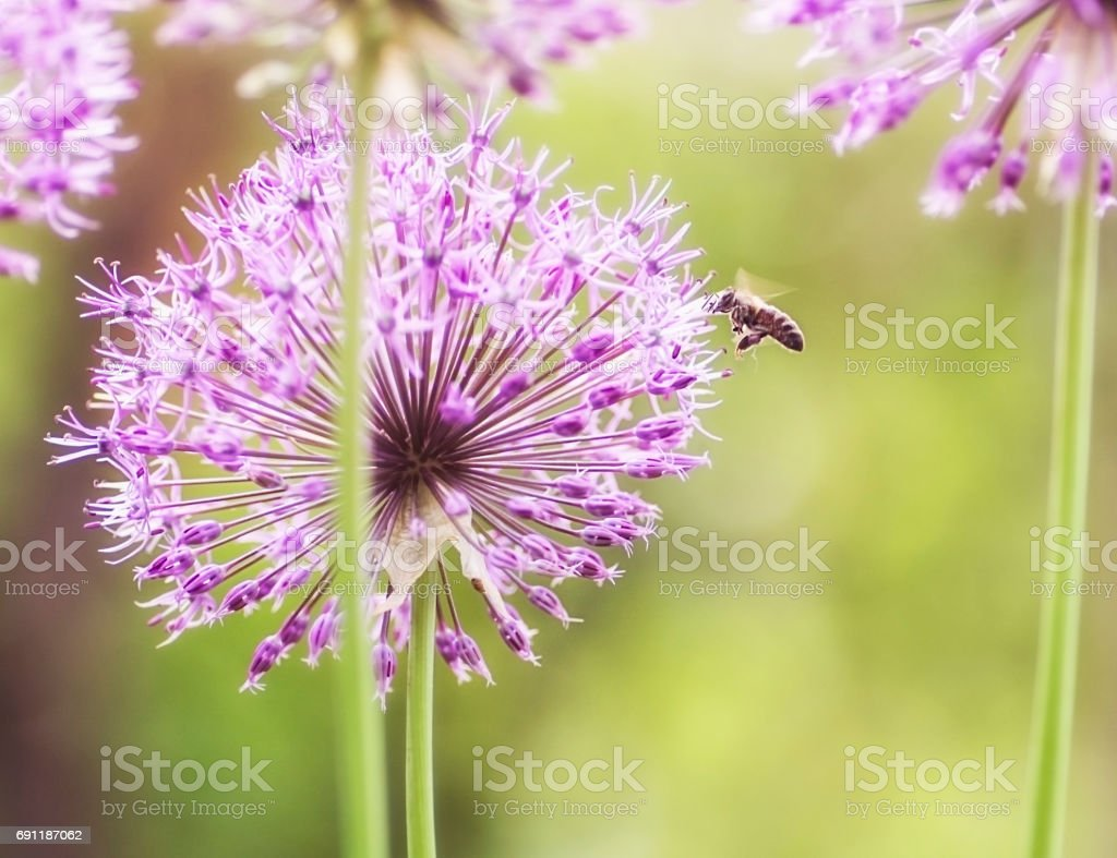 close-up of blooming purple ornamental onion stock photo