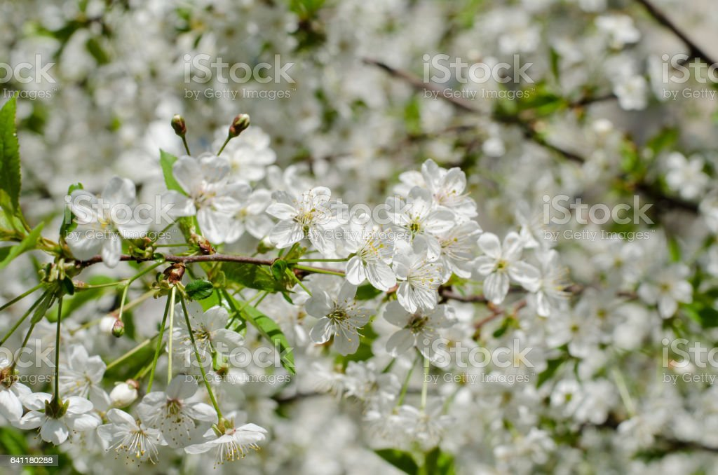 Closeup of blossoming cherry trees on a sunny spring day stock photo