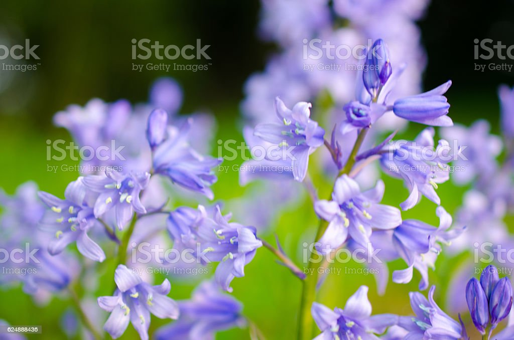 Close-up of blue bluebell flowers on a green meadow stock photo