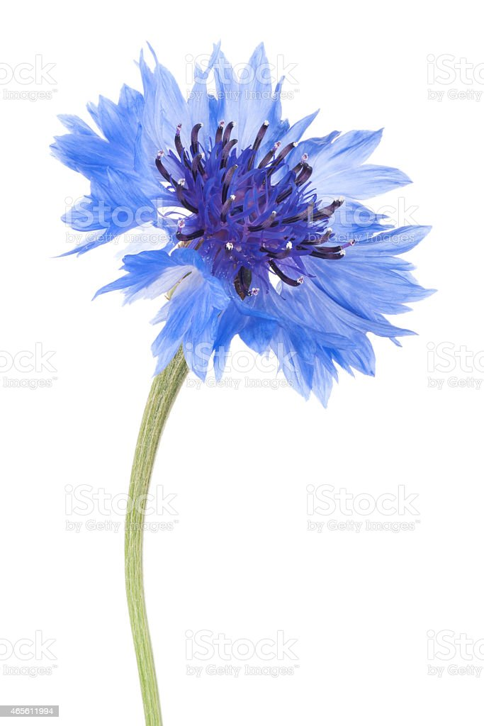 Close-up of blue cornflower isolated in white stock photo