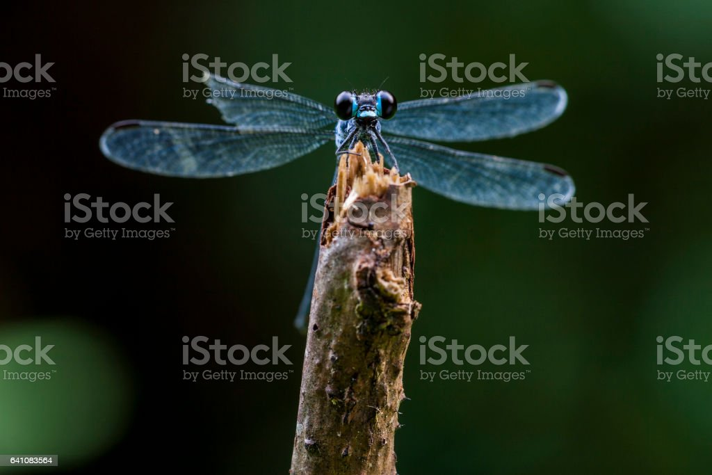 Close-Up Of Blue Damselfly On Twig stock photo
