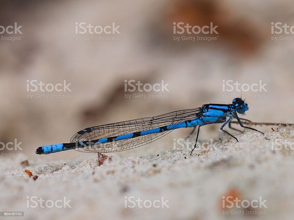 Closeup of blue dragonfly stock photo