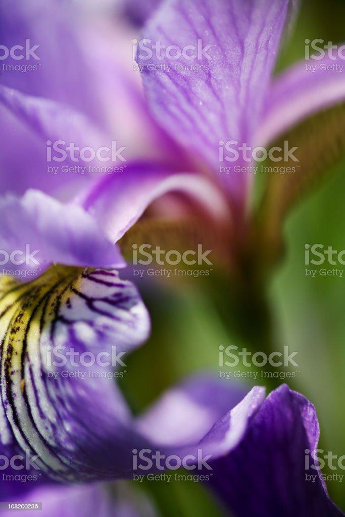 Close-Up of Blue Flag Iris Flower Petals royalty-free stock photo