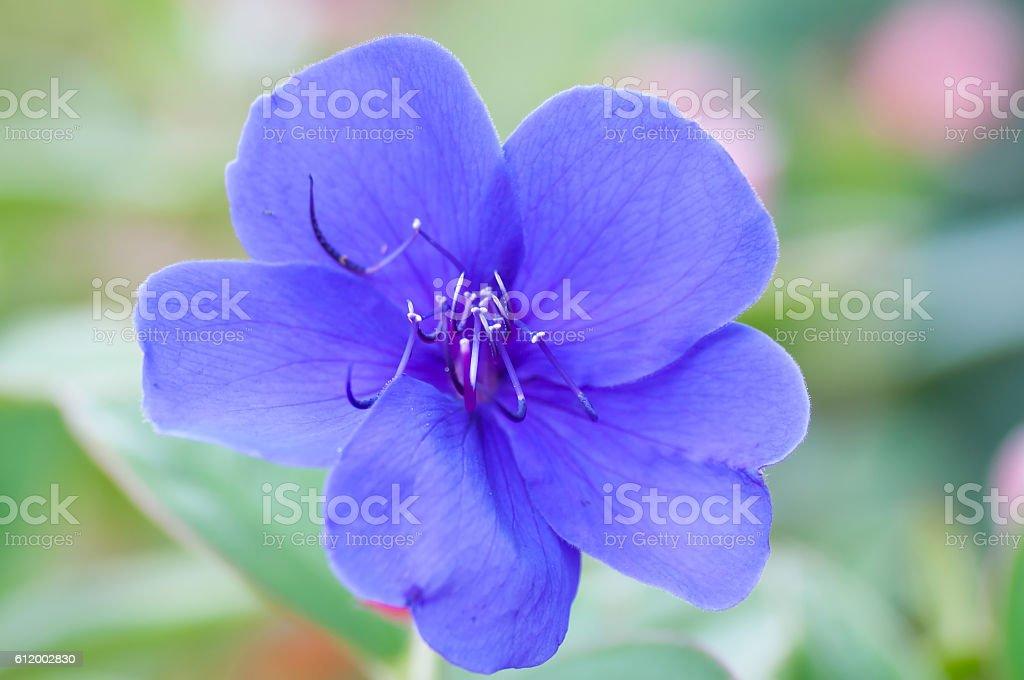 closeup of blue flower in a garden stock photo
