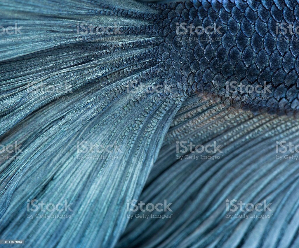 Close-up of Blue Siamese fighting fish, Betta Splendens. stock photo