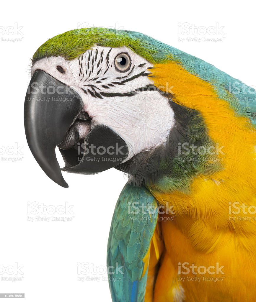 Close-up of Blue-and-Yellow Macaw, Ara ararauna, white background. stock photo