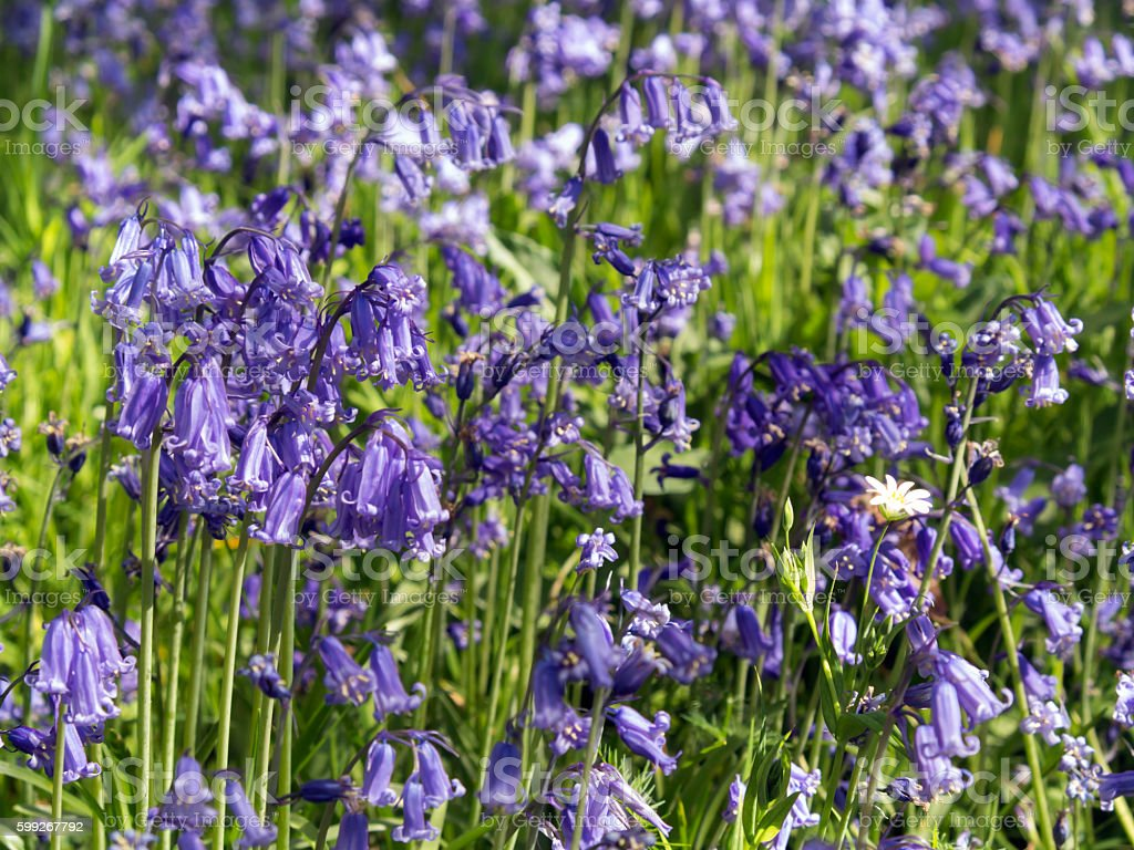 Close-up of bluebells in Kent England stock photo