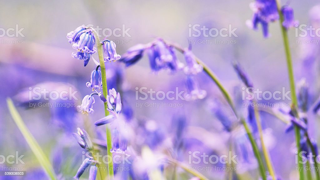 Close-up of bluebells in the forest stock photo