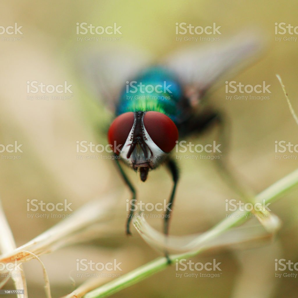 Close-up of Bluebottle Fly's Eyes and Face stock photo