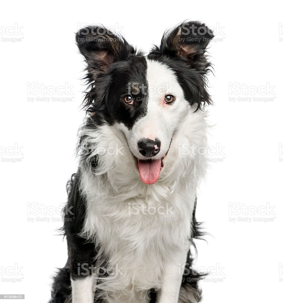 Close-up of Border Collie, 9 months old, isolated on white stock photo