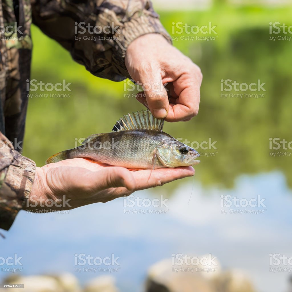 Close-up of Bright perch with a torn off hook on the line in palms...