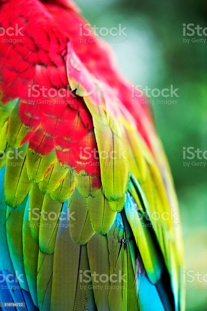 Close-up of bright red parrot wing stock photo