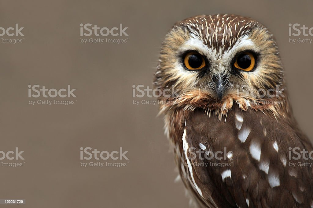 Close-up of brown and white owl with hazel eyes stock photo