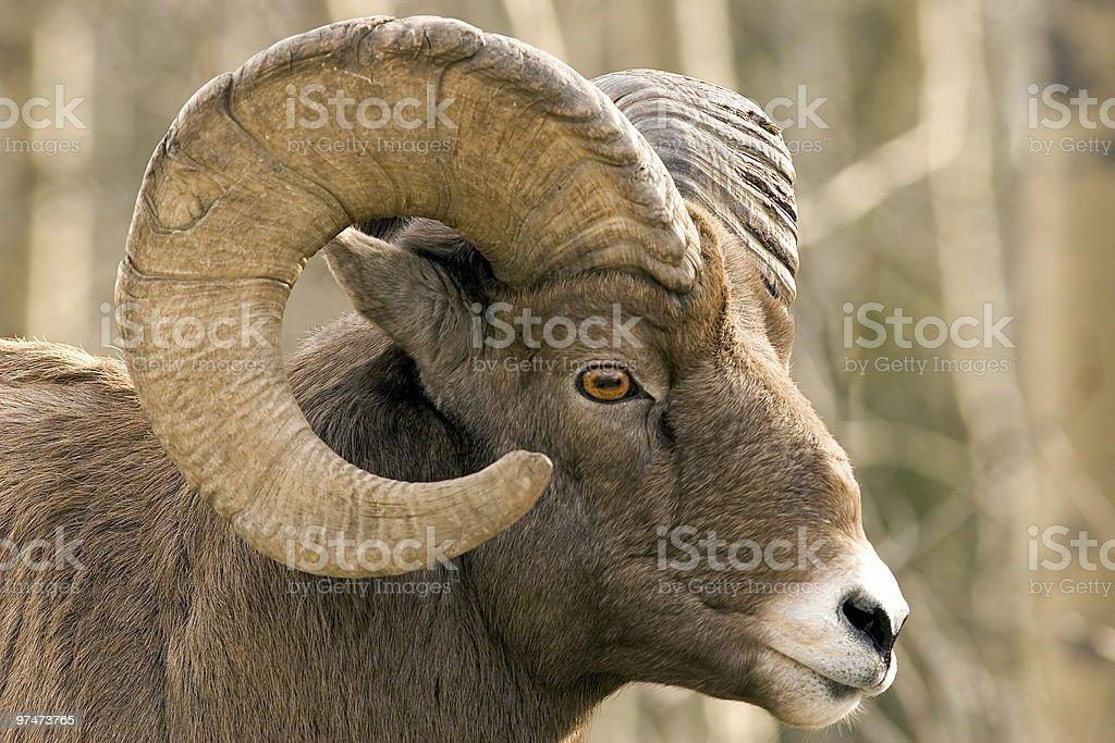 Close-up of brown bighorn sheep stock photo