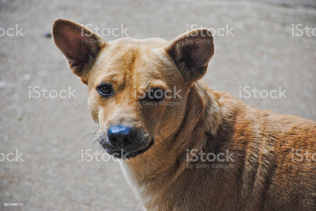 Close-up of brown dog looking at camera stock photo