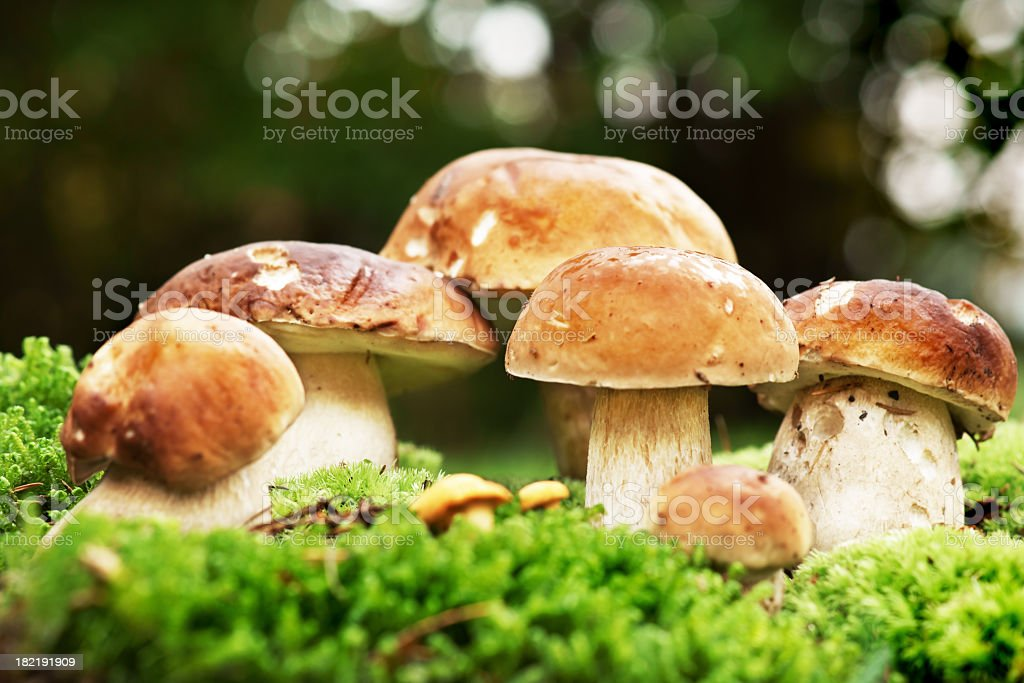Close-up of brown mushrooms on moss royalty-free stock photo