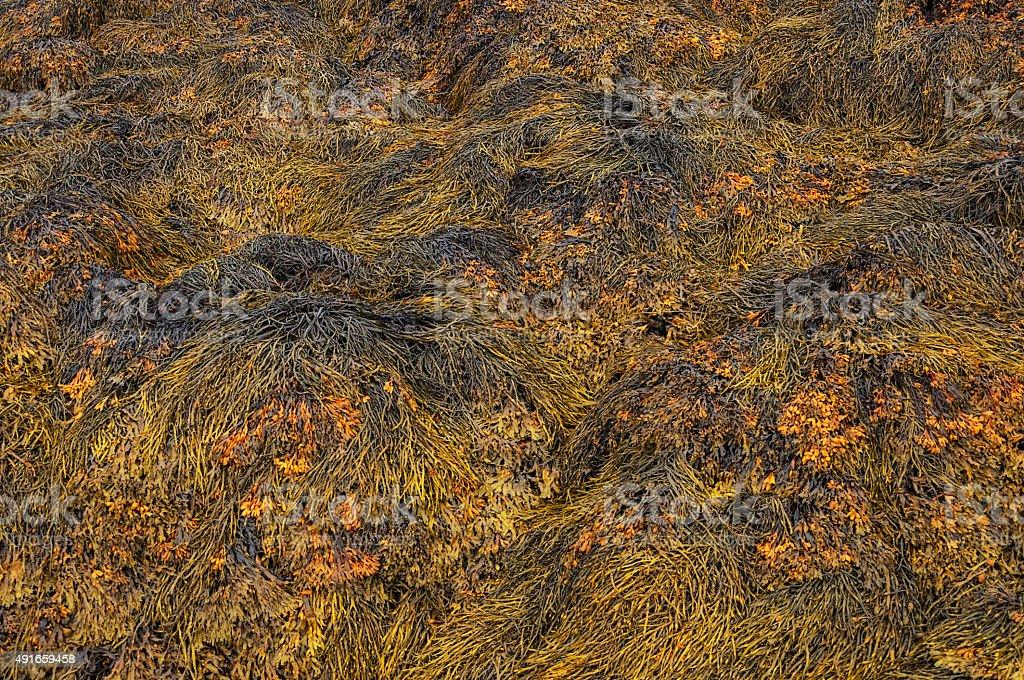 Closeup of brown seaweed at low tide stock photo