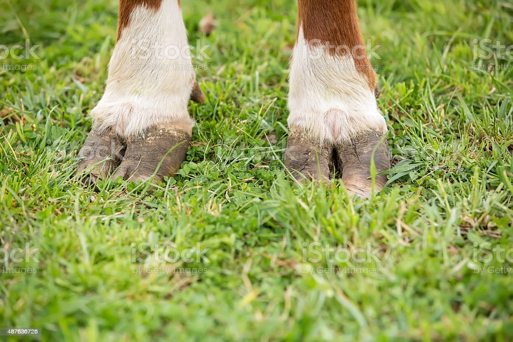 Close-Up of Brown & White Hereford Cow Hooves stock photo
