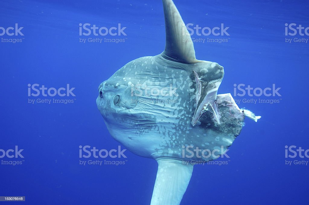 Close-up of bullet shape Mola fish in deep ocean stock photo