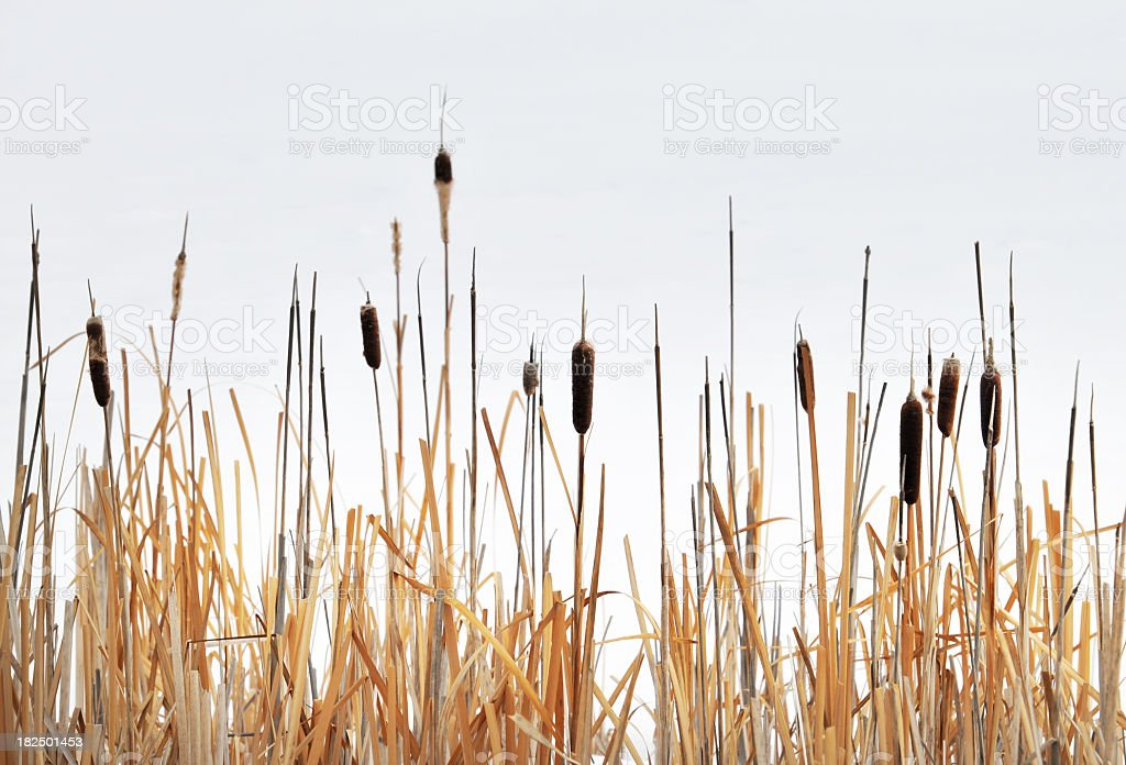 Close-up of bullrush against an over cast sky stock photo