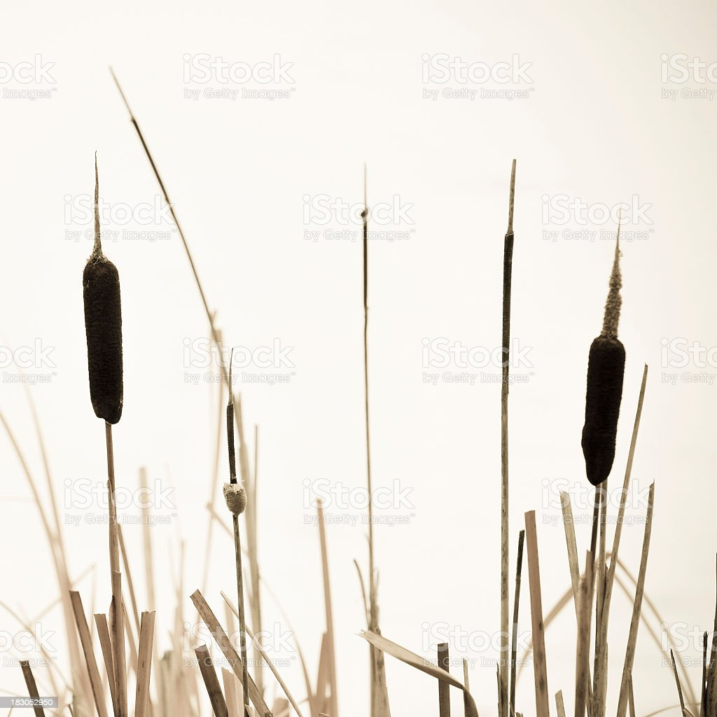 Close-up of bullrush plants with seed heads in sepia stock photo